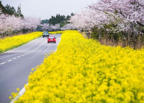 Đặt vé máy bay đi Hàn Quốc tham gia lễ hội hoa anh đào