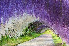 Nhìn ngắm hoa tử đằng tại Nhật Bản Vào tháng 4