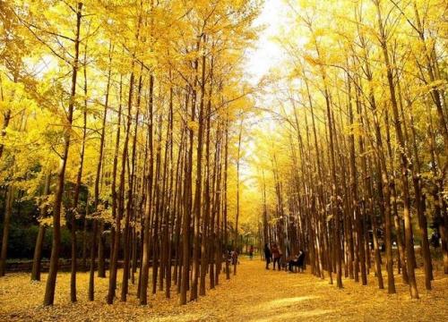 Du lịch Seoul mùa thu vàng