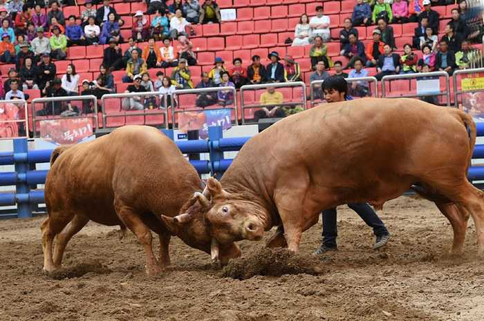 Cheongdo-Bull-Fighting-Festival